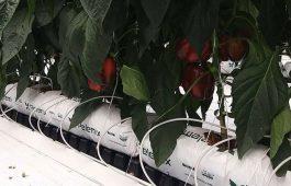 Giá thể xơ dừa ép thẻ Grow bag trồng Ớt chuông 1